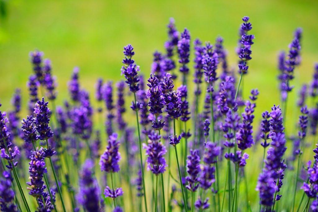 Garten Wiese Lavendel